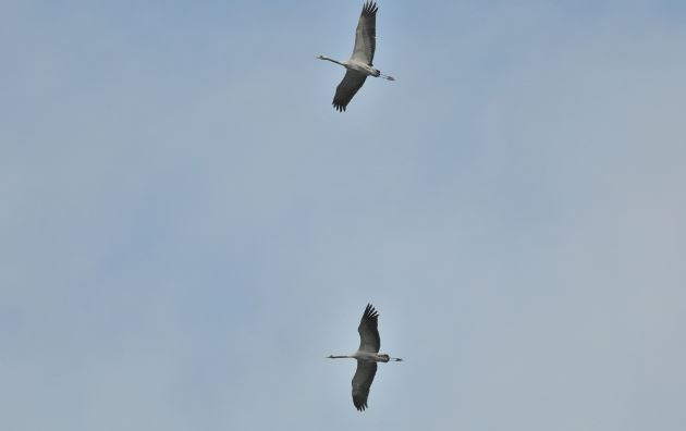 Common Cranes, Thrapston GP, 15th May 2015 (John Finlayson) Record Shot.