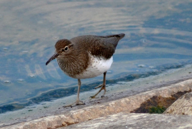 Common Sandpiper, Pitsford Res, 27th April 2015 (Stuart Mundy)