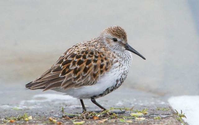 Dunlin, Pitsford Res, 26th April 2015 (Angus Molyneux)
