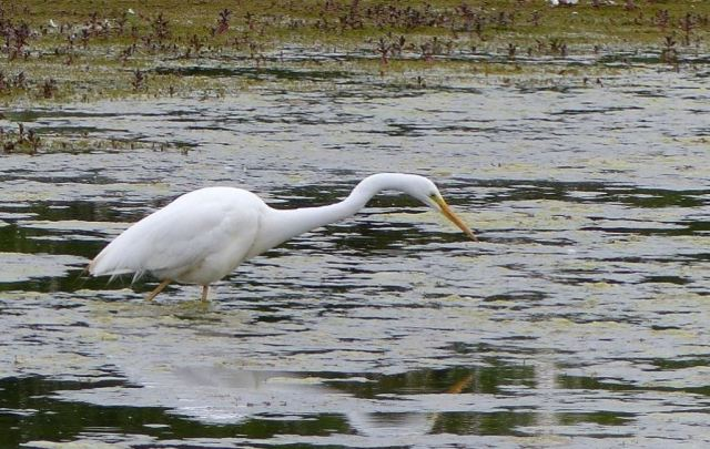 Great White Egret, Summer Leys LNR, 24th May 2015 (Phil Jackman)