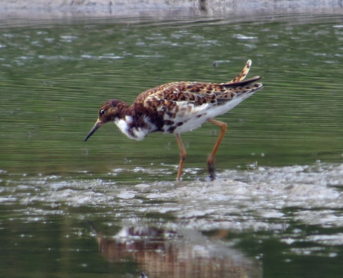 Male Ruff, Hollowell Res, 13th May 2015 (Cathy Ryden)