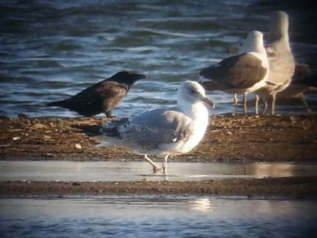 Putative second-summer Azorean Gull, Stanwick GP, 18th May 2015 (Steve Fisher)