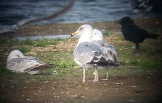Putative second-summer Azorean Gull, Stanwick GP, 19th May 2015 (Steve Fisher)