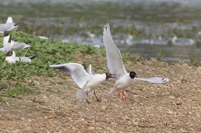 Second-summer Mediterranean Gull, Summer Leys LNR, 4th May 2015 (Dave Jackson)