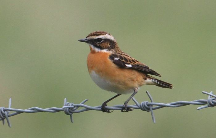 Whinchat, Clifford Hill GP, 25th April 2015 (Bob Bullock)