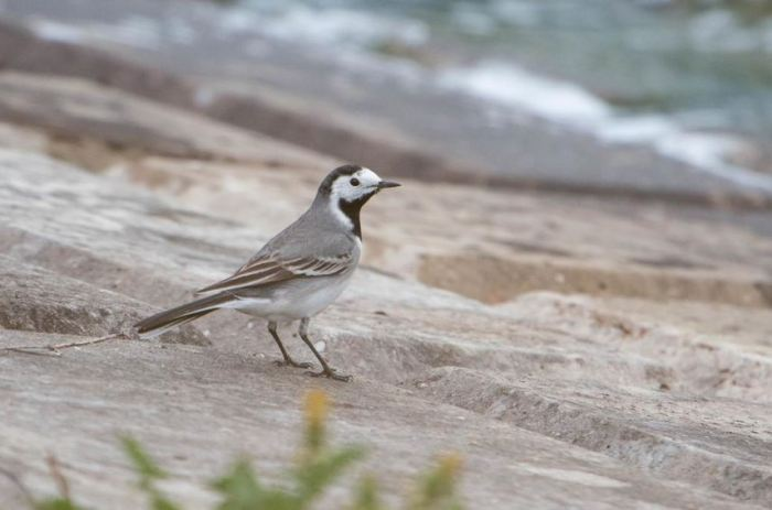 White Wagtail, Pitsford Res, 26th April 2015 (Angus Molyneux). One of three present on the dam.