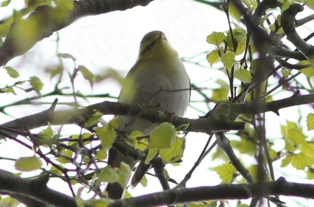 Wood Warbler, Daventry CP, 26th April 2015 (Bob Bullock)