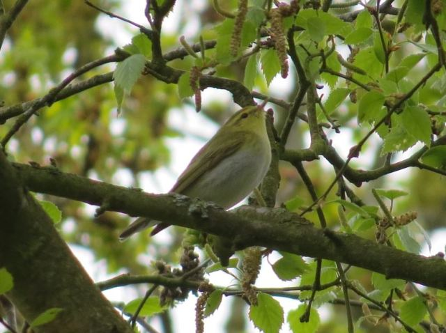 Wood Warbler, Daventry CP, 26th April 2015 (Simon Hales)