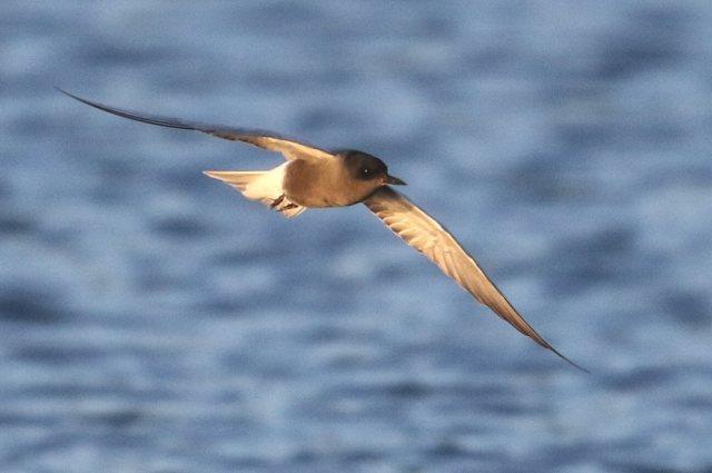 Black Tern, Stanwick GP, 31st May 2015 (Bob Bullock)
