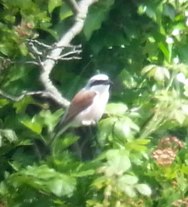 Male Red-backed Shrike, locality withheld, 15th June 2015 (Steve Fisher)