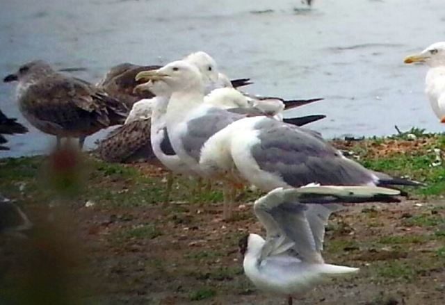 Adult Caspian Gull, Stanwick GP, 26th Jul (Steve Fisher)