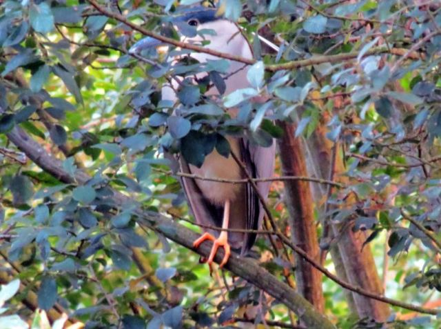 Adult Night Heron, Ditchford GP, 25th July 2015 (Jim Dunkley)