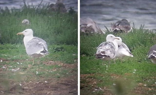 Adult, third-summer and second-summer Caspian Gulls, Stanwick GP, 13th July 2015 (Steve Fisher)