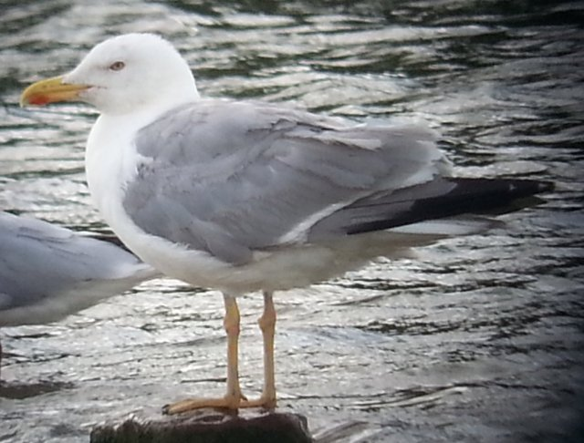 Adult Yellow-legged Gull, Stanwick GP, July 2015 (Steve Fisher)
