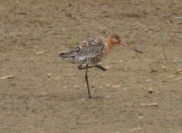 Black-tailed Godwit, Summer Leys LNR, 14th July 2015 (Alan Coles)