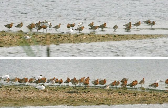 Black-tailed Godwits, Stanwick GP, 8th July 2015 (Steve Fisher). Part of an evening gathering of fifty-seven on the Visitor Centre Pit.