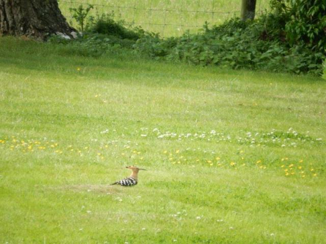 Hoopoe, Grendon, 16th June 2015 (Gwen Maisey)