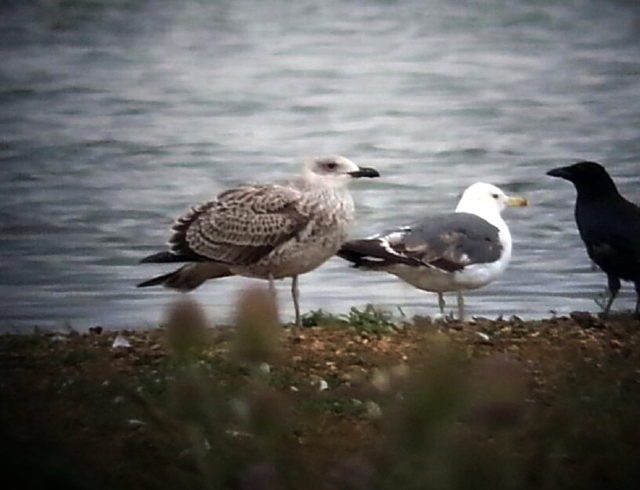 Juvenile Yellow-legged Gull, Stanwick GP, 30th July 2015 (Steve Fisher)