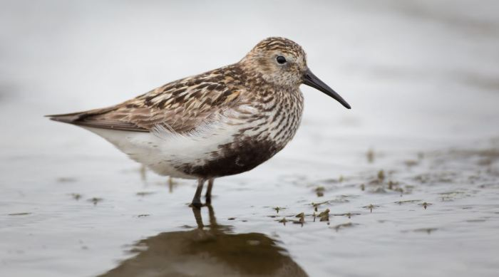 Adult Dunlin, Hollowell Res (Martin Swannell)