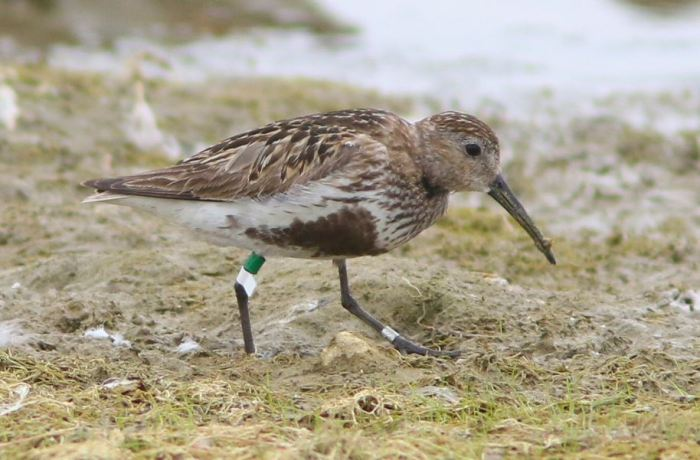 Adult Dunlin, ringed and flagged, Hollowell Res, 7th August 2015 (Bob Bullock)