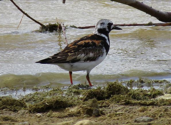 Adult Turnstone, Pitsford Res, 3rd August 2015 (Alan Francis)