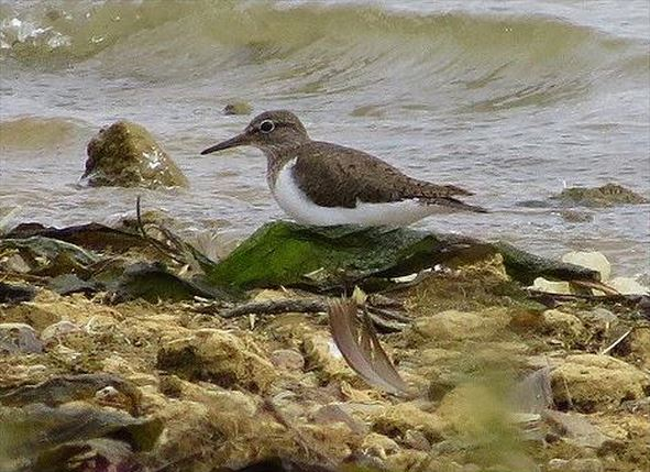 Common Sandpiper, Pitsford Res, 5th August 2015 (Alan Francis)