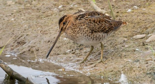 Common Snipe, Summer Leys LNR, August 2015 (Martin Swannell)