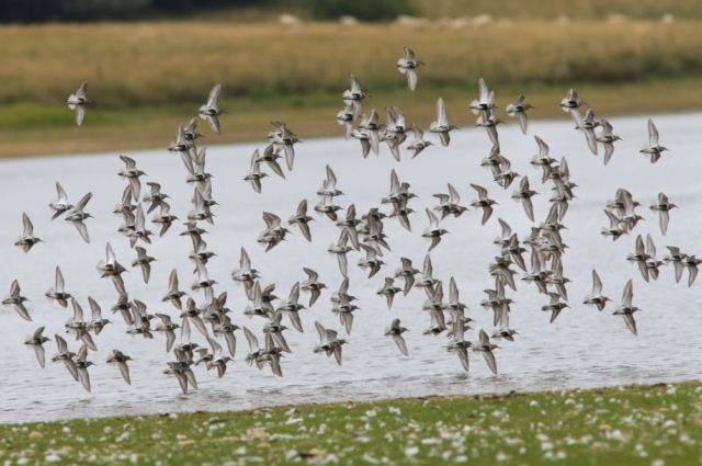 Dunlins, Hollowell Res, 7th August 2015 (Bob Bullock). Part of a 440-strong flock present briefly at this location.
