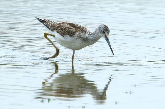 Greenshank, Summer Leys LNR, 14th August 2015 (Bob Bullock)