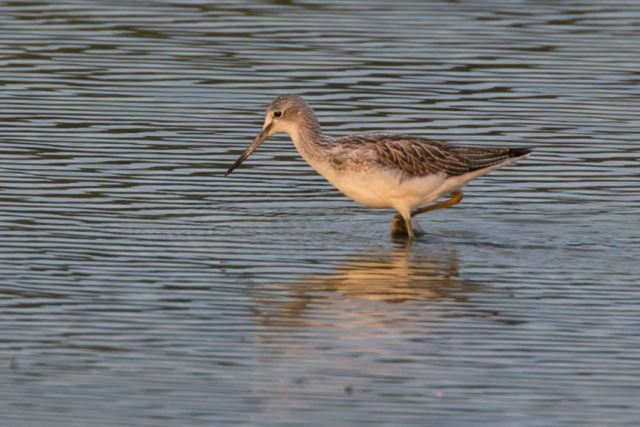 Greenshank, Summer Leys LNR, 16th August 2015 (Martin Swannell)