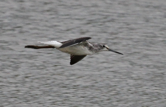 Greenshank, Summer Leys LNR, 20th August 2015 (Alan Coles)