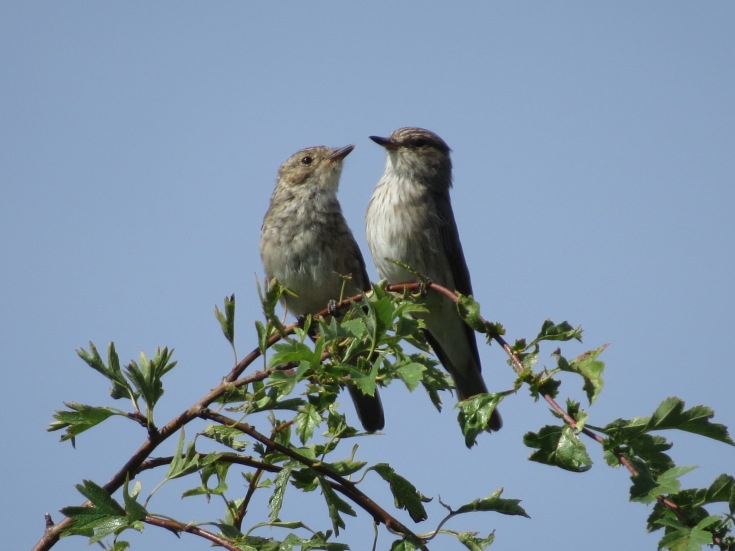 Juvenile and adult Spotted Flycatchers, Polebrook AF, 22nd August 2015 (Simon Hales)