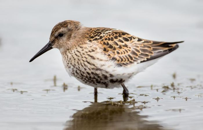 Juvenile Dunlin, Hollowell Res (Martin Swannell)