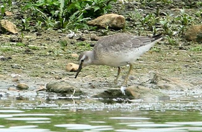 Juvenile Knot, Stanwick GP, 14th August 2015 (Bob Bullock)