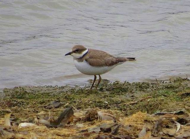 Juvenile Little Ringed Plover, Pitsford Res, 13th August 2015 (Alan Francis)