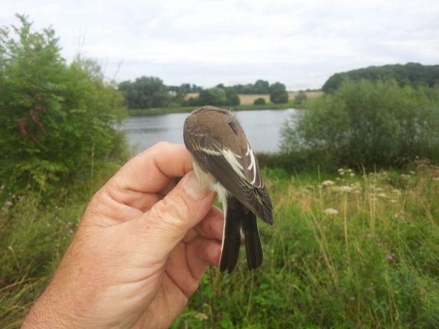 Juvenile Pied Flycatcher, Stanford Res, 24th August 2015 (Mick Townsend)