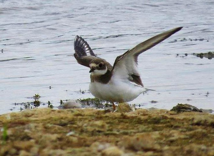 Juvenile Ringed Plover, Pitsford Res, 10th August 2015 (Alan Francis)