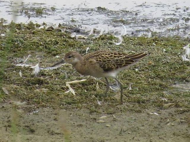 Juvenile Ruff, Pitsford Res, 19th August 2015 (Alan Francis)