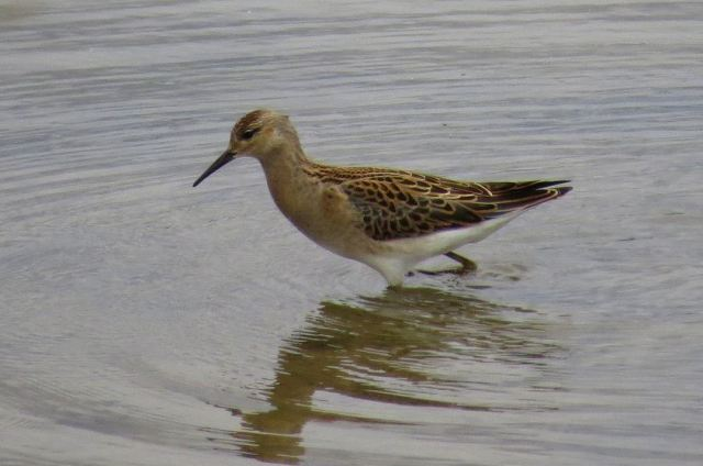 Juvenile Ruff, Wicksteed Park lake, 21st August 2015 (Alan Francis)