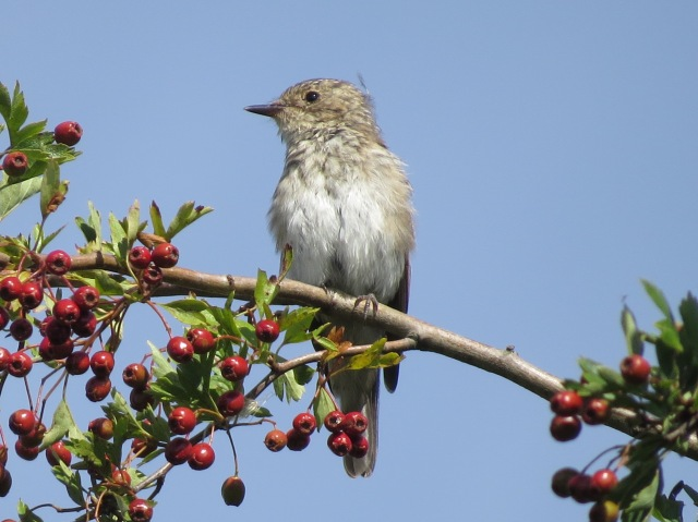 Juvenile Spotted Flycatcher, Polebrook AF, 22nd August 2015 (Simon Hales)