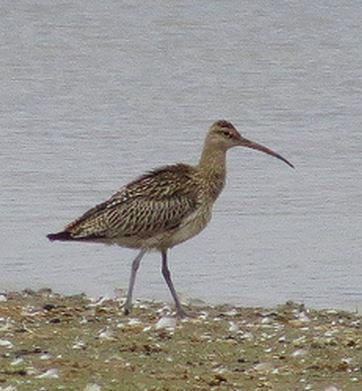 Juvenile Whimbrel, Pitsford Res, 20th August 2015 (Alan Francis)