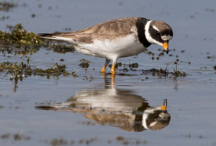 Ringed Plover, Pitsford Res, 15th August 2015 (Martin Swannell)