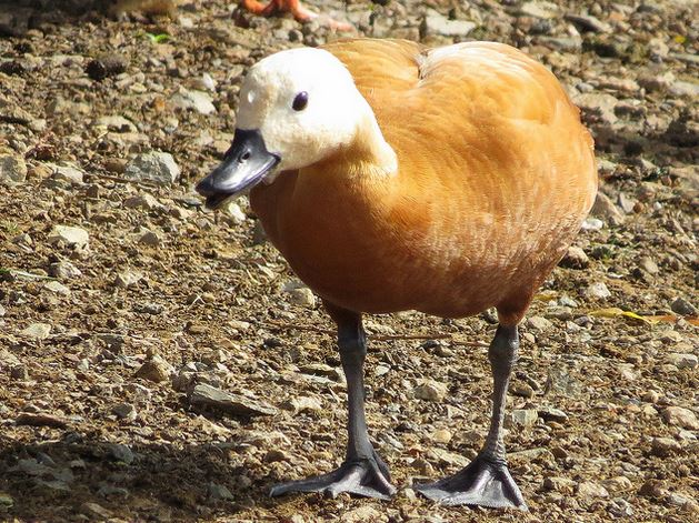 Ruddy Shelduck, Pitsford Res, 25th August 2015 (Alan Francis)