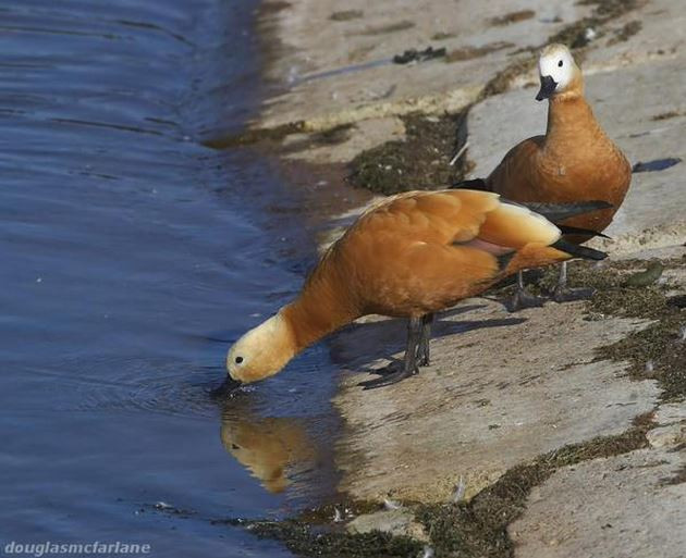 Ruddy Shelducks, Pitsford Res, 27th August 2015 (Douglas McFarlane)