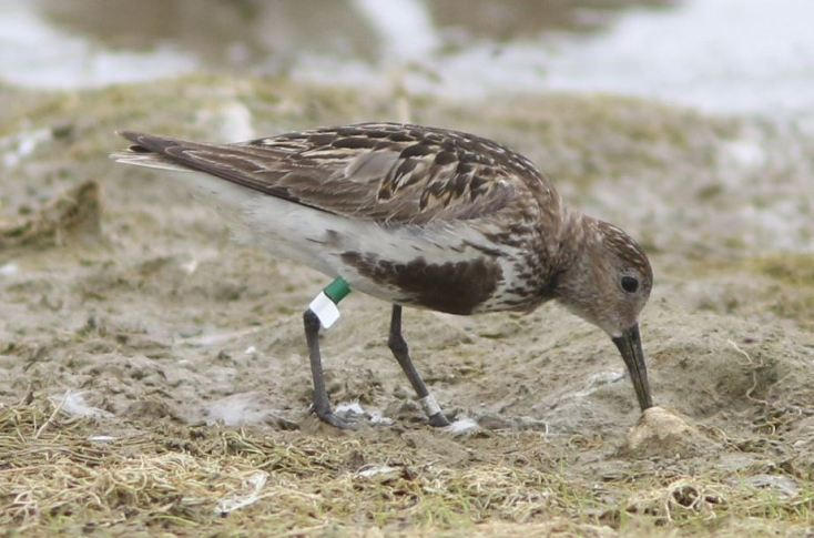 Spanish-ringed adult Dunlin, Hollowell Res, 7th August 2015 (Bob Bullock)