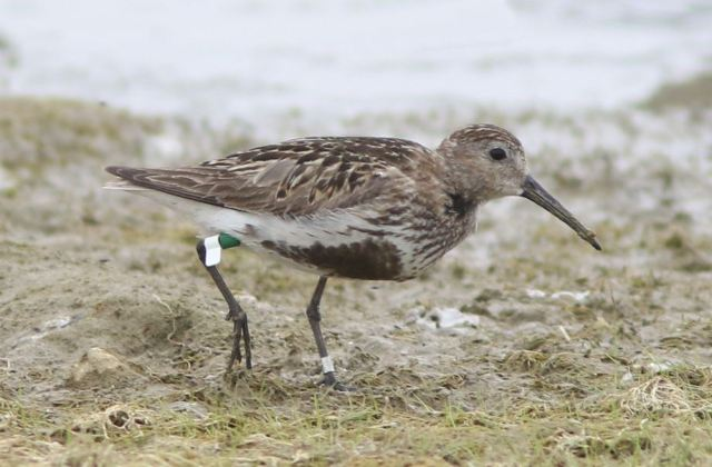Spanish-ringed adult Dunlin, Hollowell Res, 7th August 2015 (Bob Bullock)4