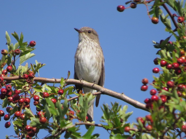 Spotted Flycatcher, Polebrook AF, 22nd August 2015 (Simon Hales)
