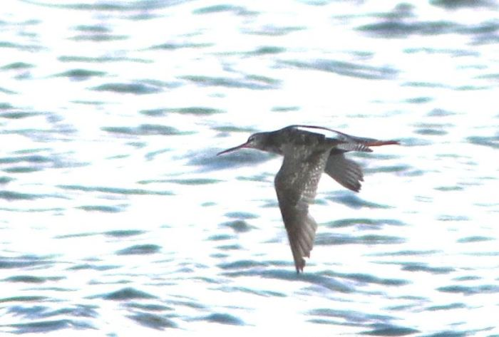 Spotted Redshank, Pitsford Res, 6th August 2015 (Bob Bullock)