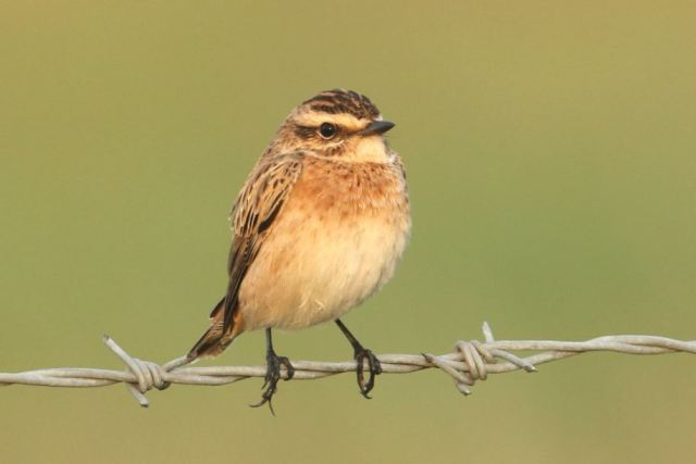 Whinchat, Clifford Hill GP, 25th August 2014 (Bob Bullock)