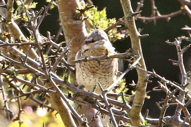 Wryneck, Harrington AF, 28th August 2015 (Bob Bullock)